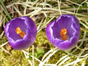 クロッカス紫2