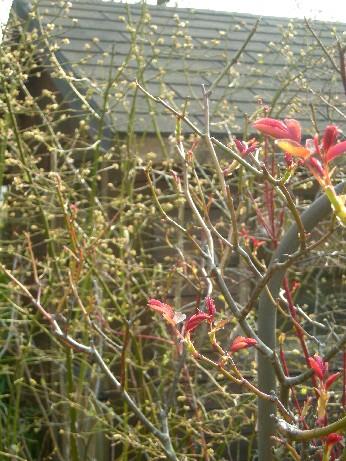 ヘリテージの赤芽