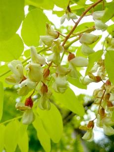 フリーシア花