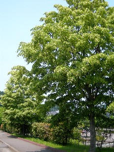 菩提樹の並木