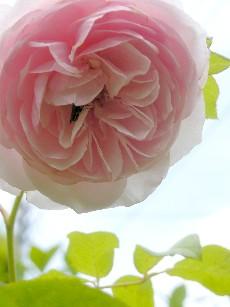 ヘリテージ2番花