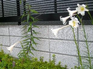 タカサゴユリ3