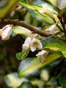 斑入グミの花