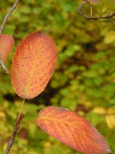 ジューンベリーの黄葉