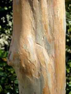 サルスベリの木肌