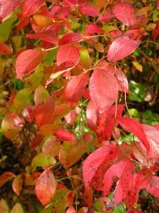ブルーベリーの紅葉2