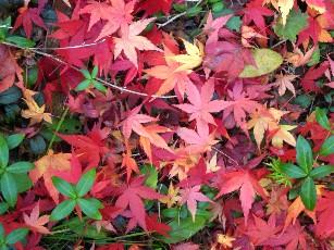 落葉のモミジ