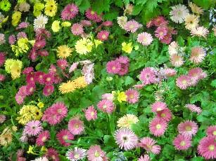ガーべラの花園