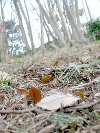 カタクリの芽吹き