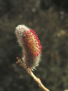 ネコヤナギ開花1