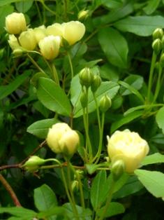黄モッコウバラ1