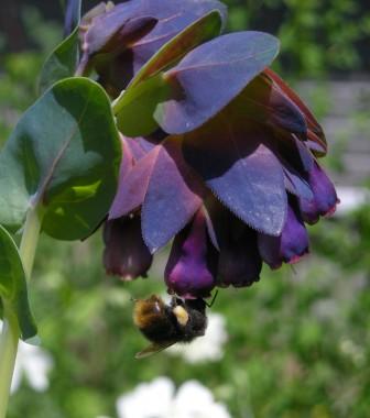 セリンセとミツバチ