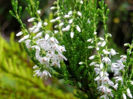 カルーナの花