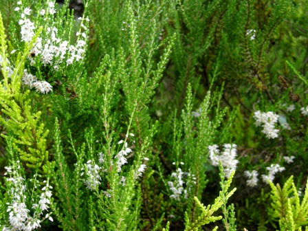 カルーナの花3