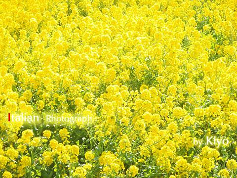 井田の菜の花