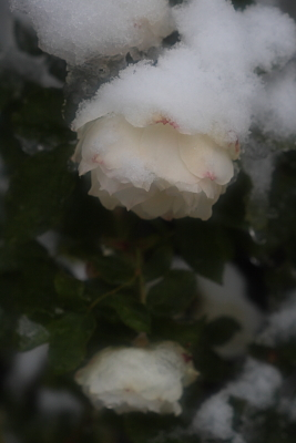 rose1000