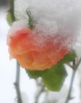 rose1001