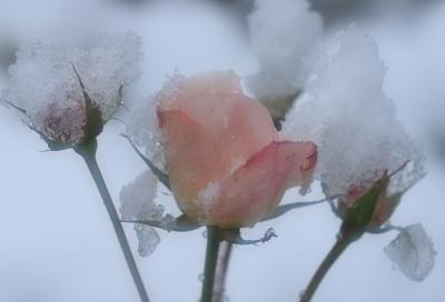 rose1002