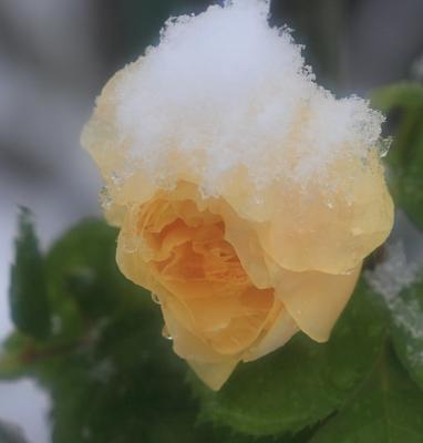 rose1003