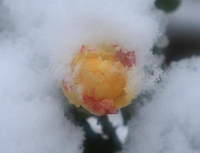 rose1004