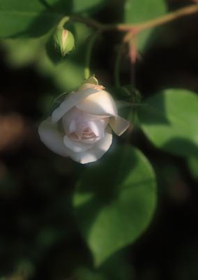rose1008