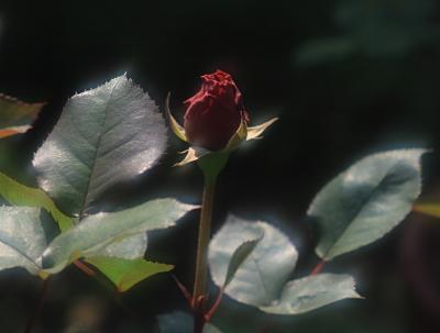 rose1009