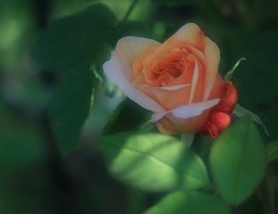 rose1010