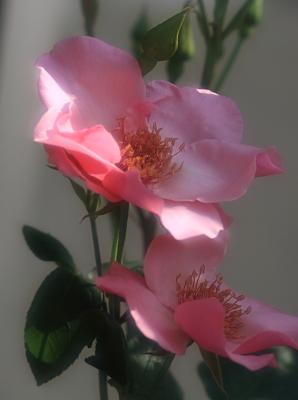 rose1012