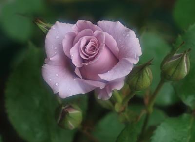 rose1013