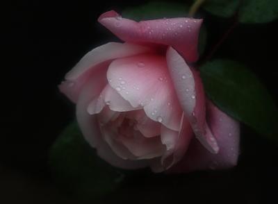 rose1014
