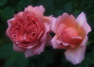 rose1015