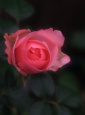 rose1016