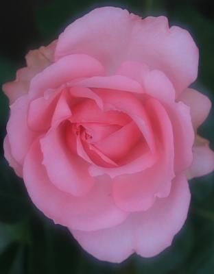 rose1018