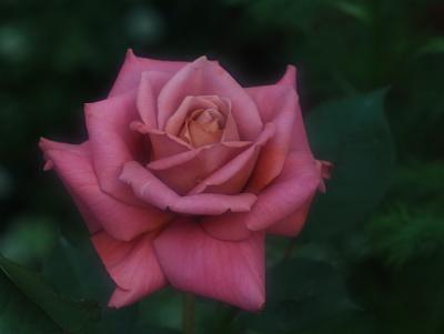 rose1019