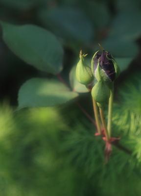 rose1020