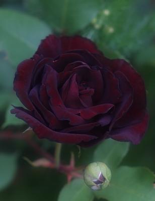 rose1022