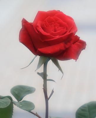 rose1023
