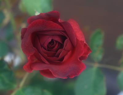 rose1025