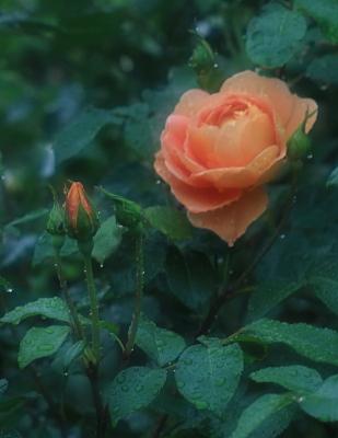 rose1026