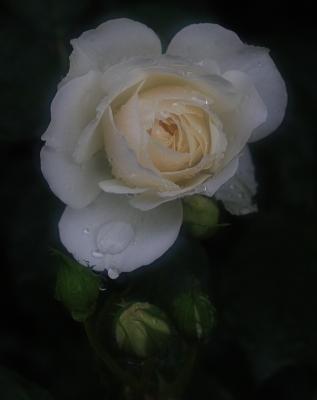 rose1029