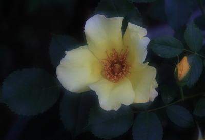 rose1030
