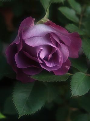 rose1031