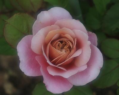 rose1035
