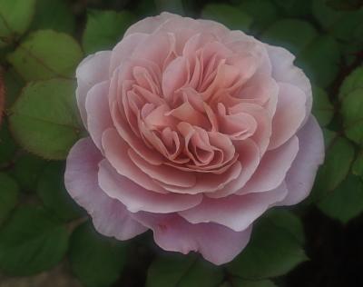 rose1036