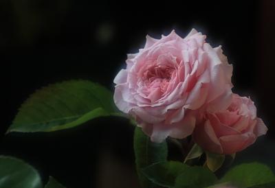 rose1038