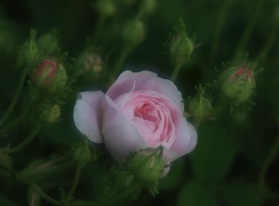 rose1039