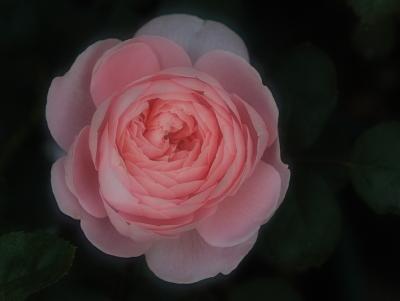 rose1041
