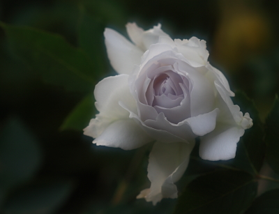 rose1100