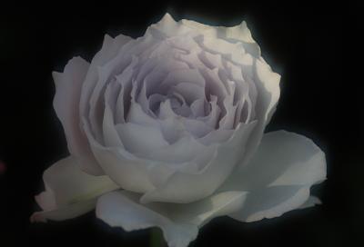 rose1101