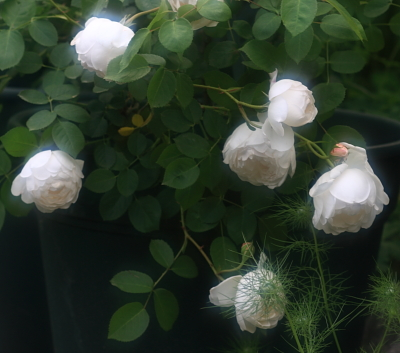 rose1102